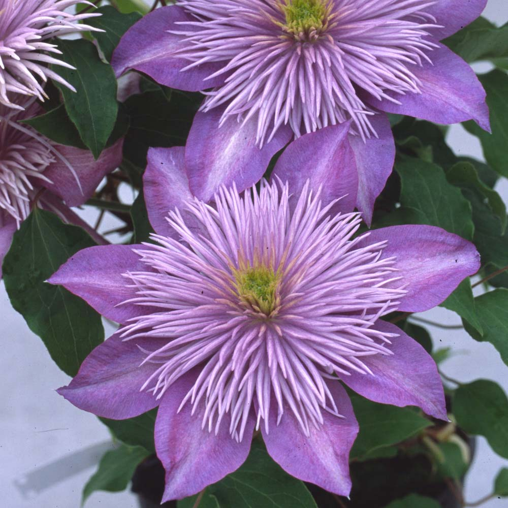 A Lilac Blue Clematis With A Fountain Like Center Images Download