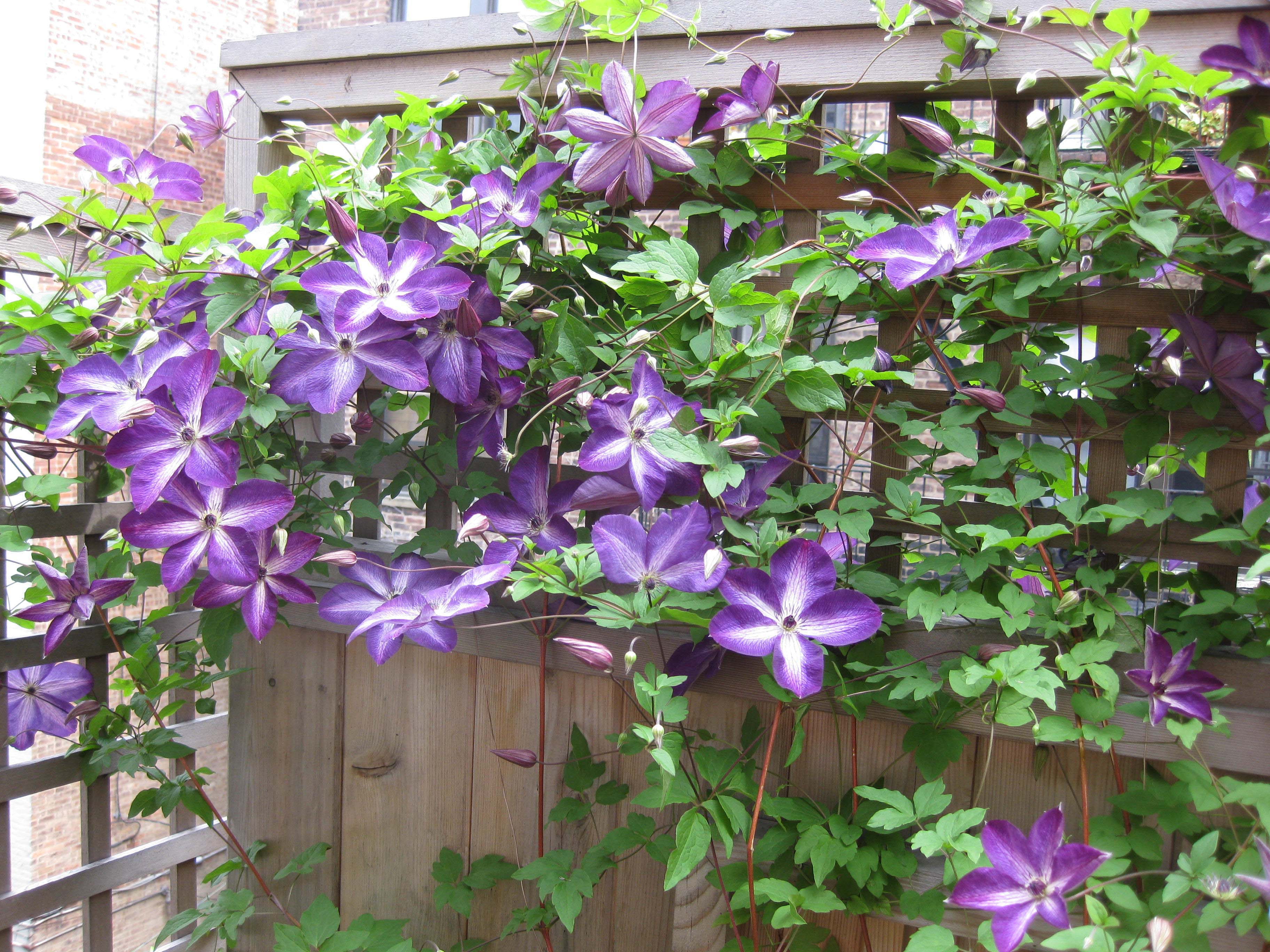 beautiful clematis flower images window wallpaper download
