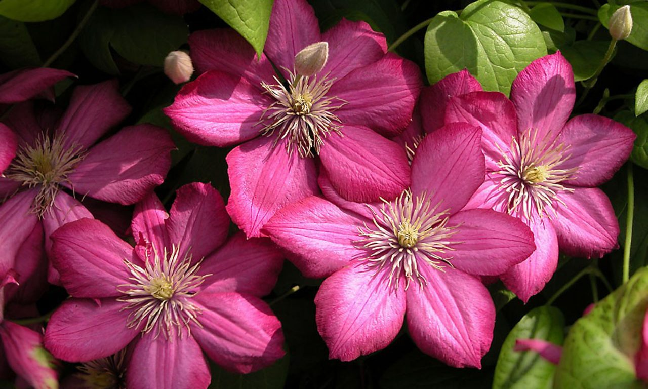 Beautiful Purple Flowers Clematis Ville De Lyon Hd Wallpapers Mobile Tablet And Laptop