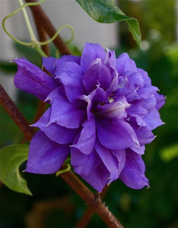 clematis garden picture download