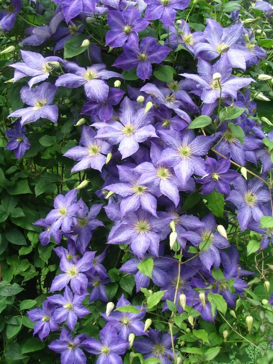 clematis hybrid silmakavi wallpaper download