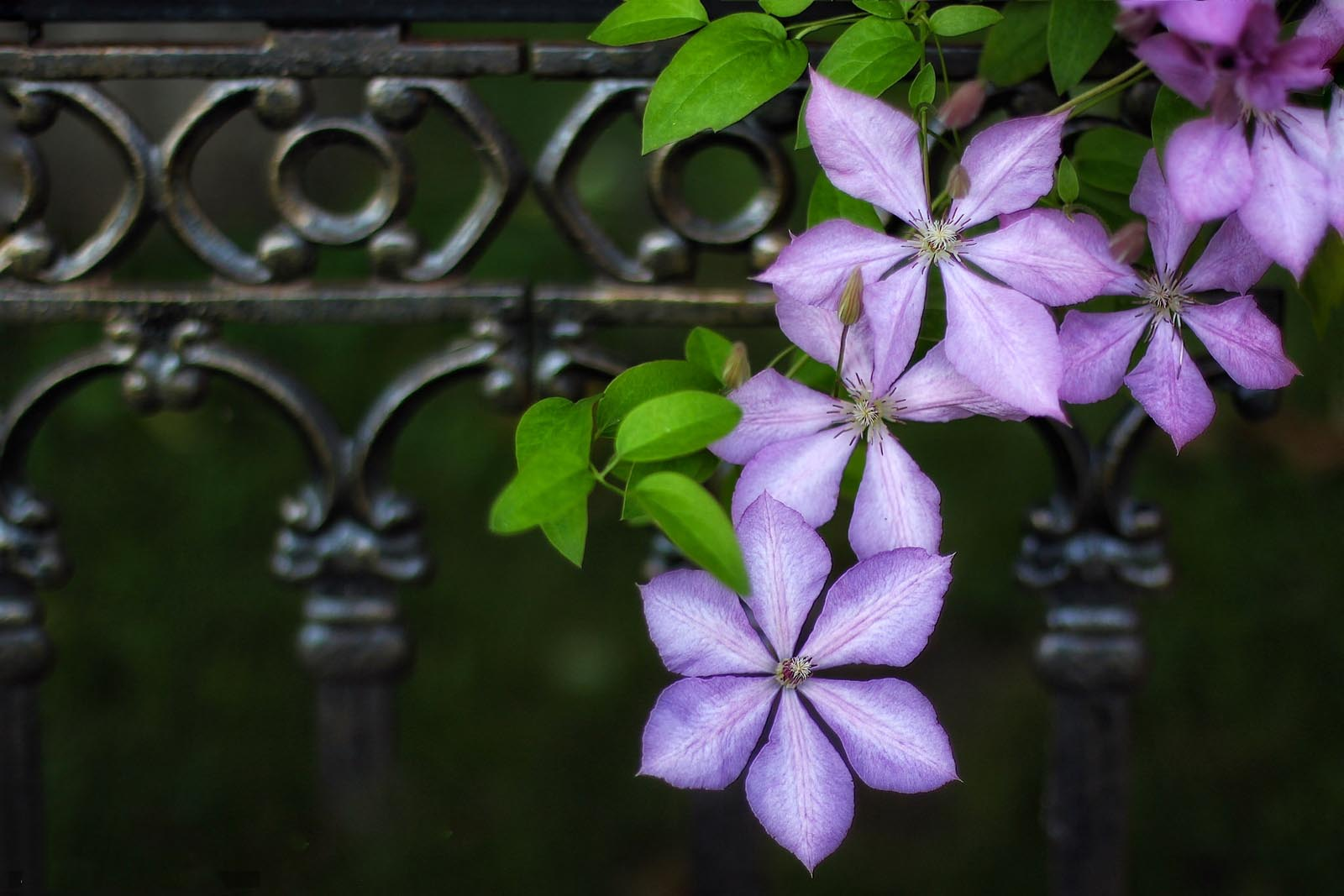 Clematis Lomonos Makro Images Flower Beautiful Purple Pics Download