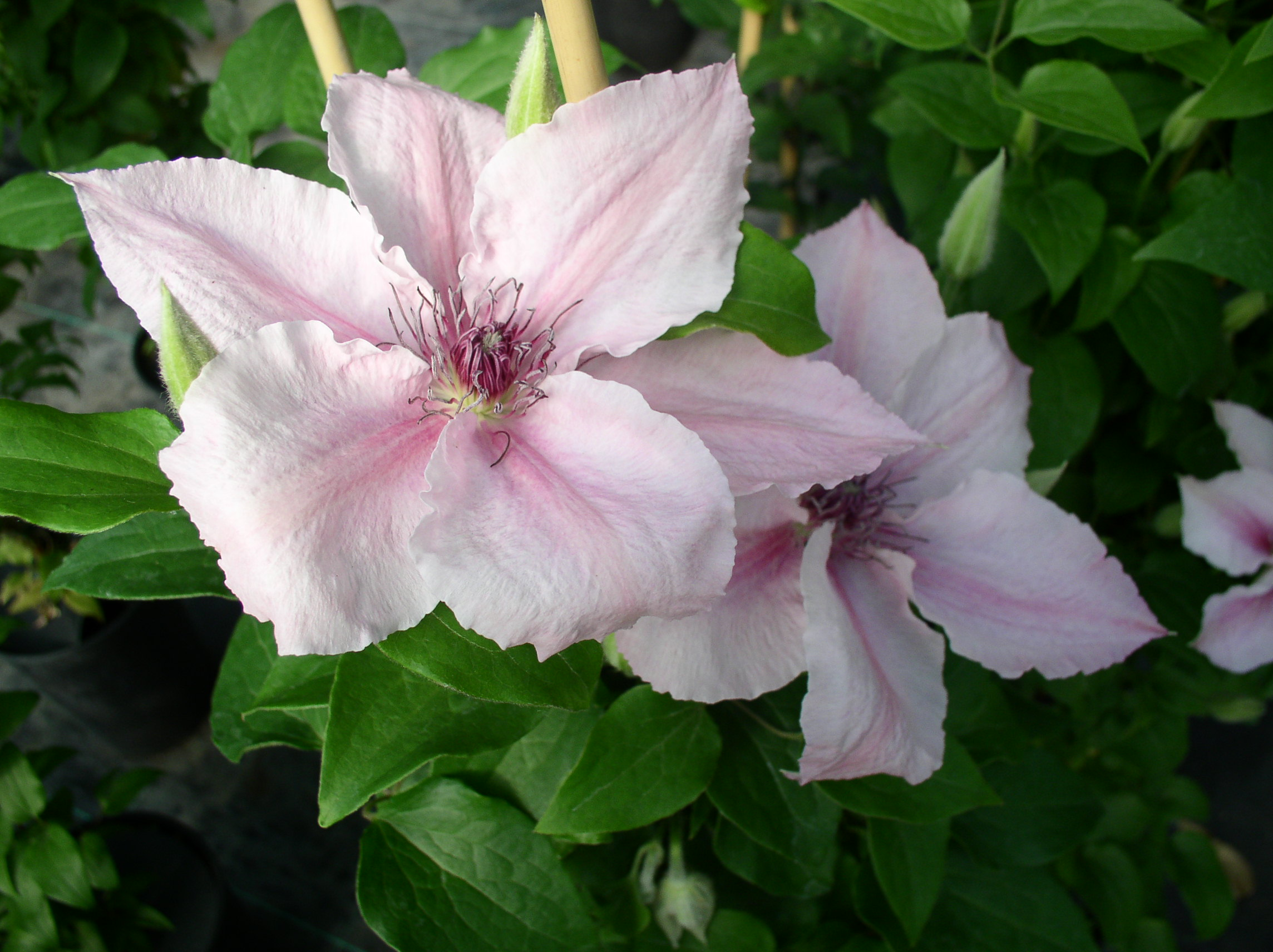 clematis pink fantasy wonderful look picture downlod