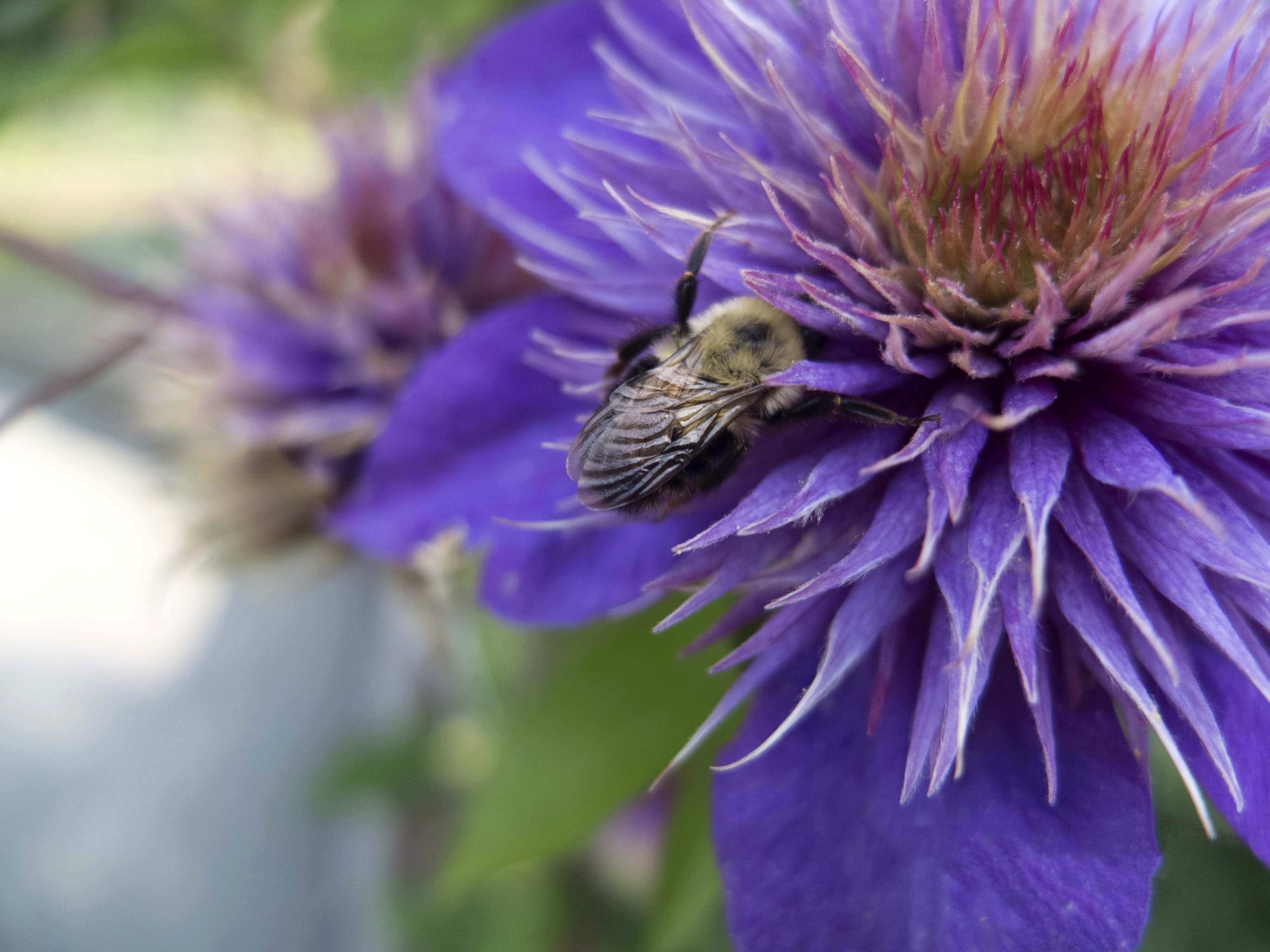 Closeup Clematis Flower Plant With Insecting Bees Download