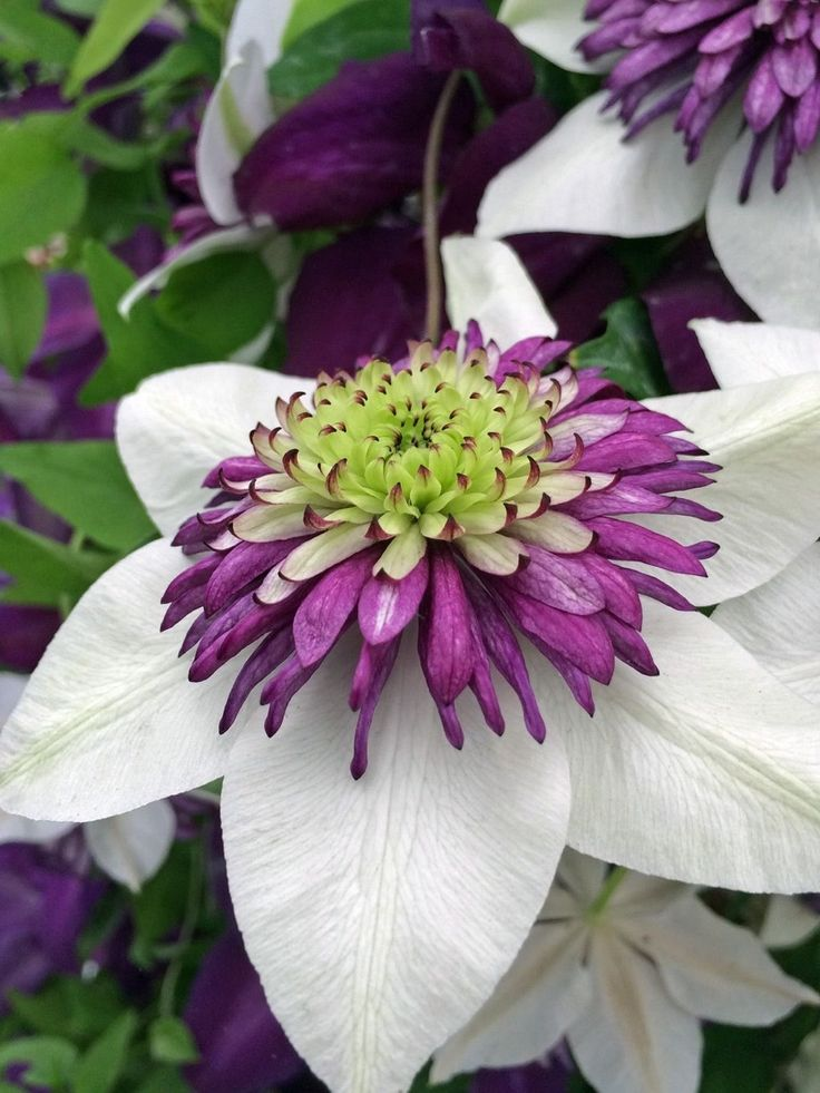 dazzling clematis flowers images free download