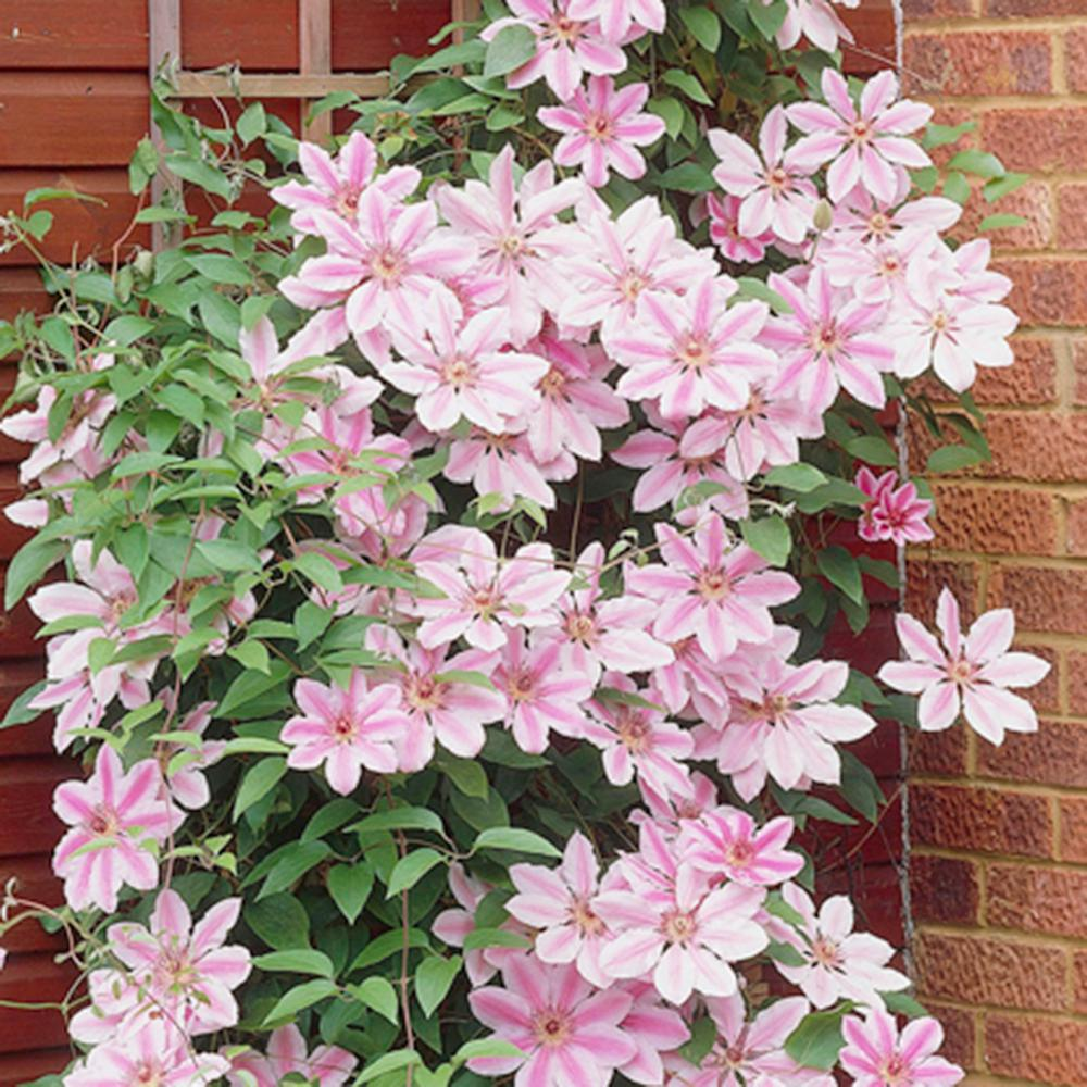 fascinating clematis flowers pics free download