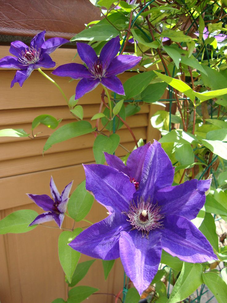 Clematis Flower Clematis Plant For Buy Images