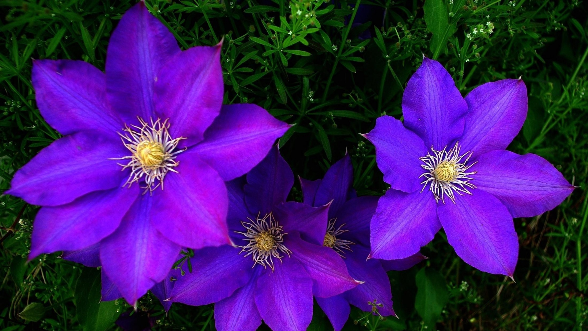 clematis flowers bright purple green images download