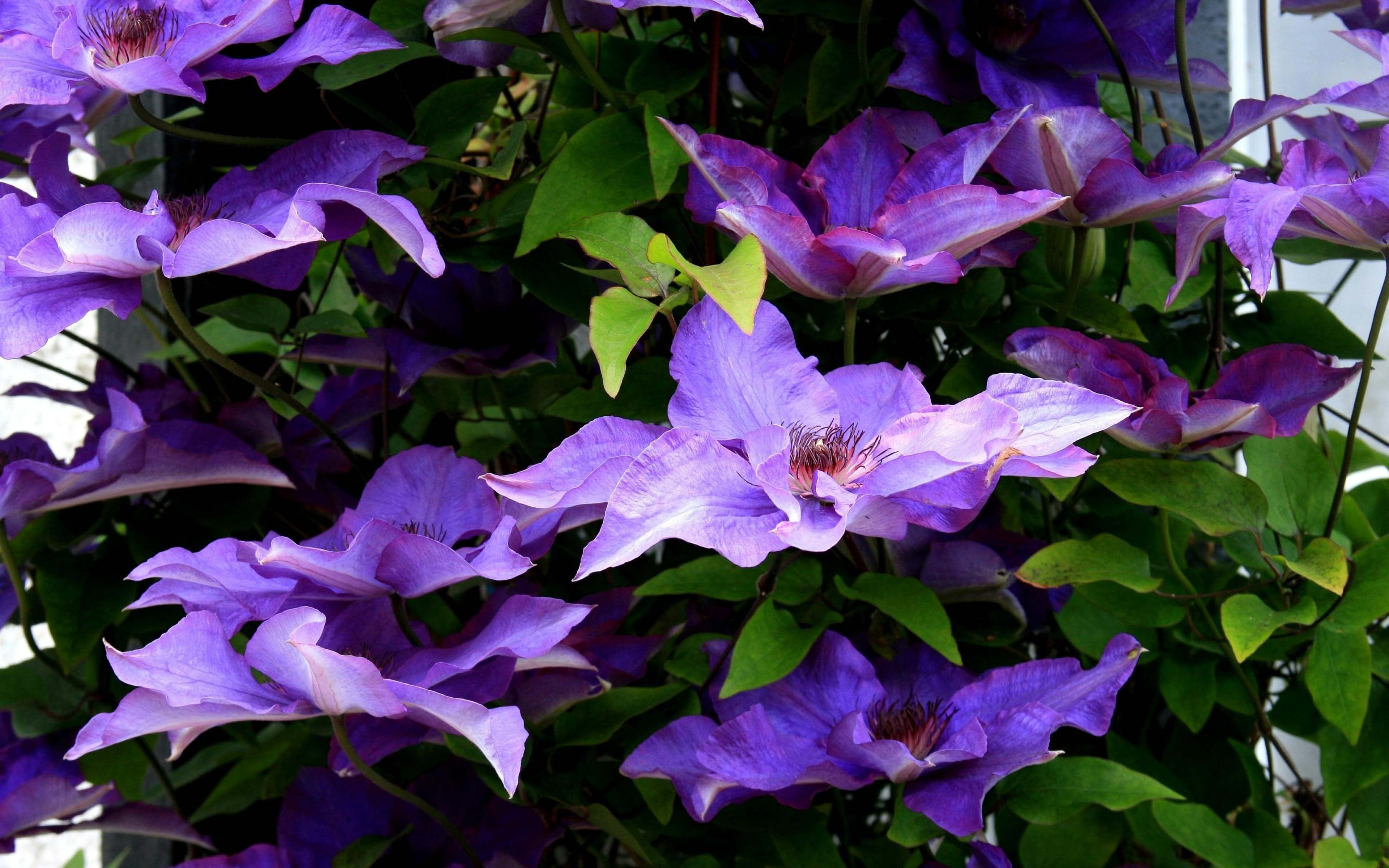 clematis purple leaves twigs cluster of clematis flower wallpaper download