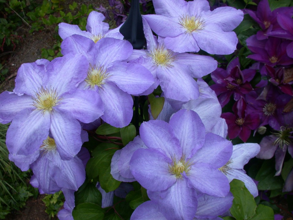 exclusive clematis flowers images free download