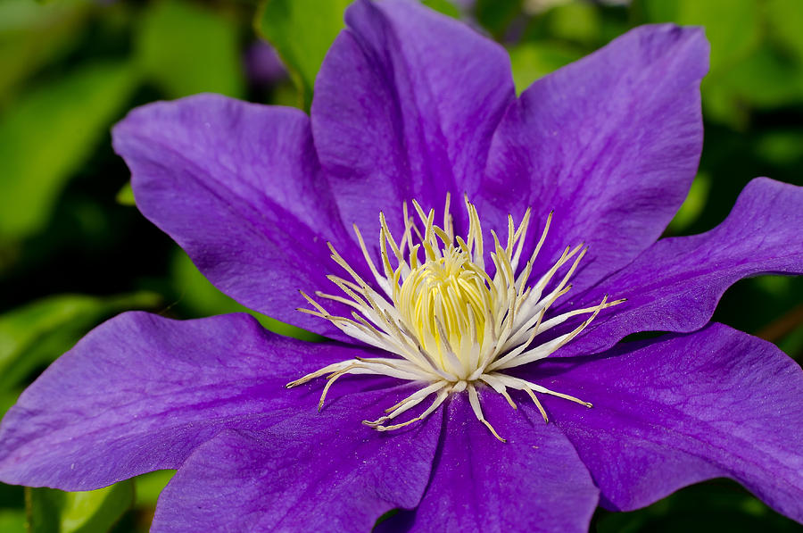 Purple Clematis Flower Lori Coleman Wallpaper Download