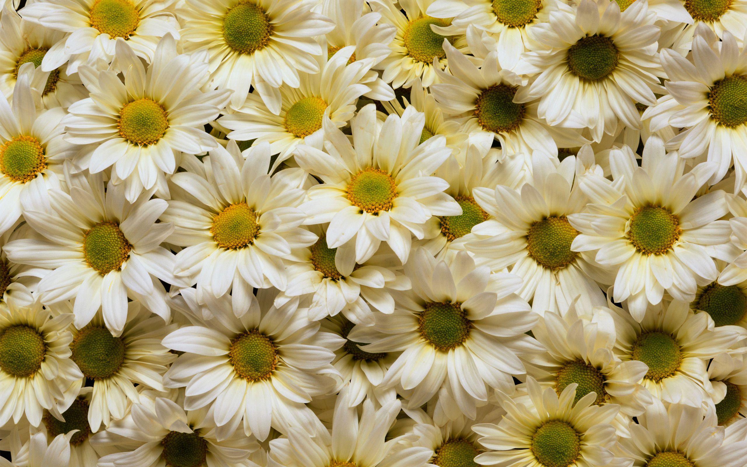Beautiful  White  Daisies  Desktop  Background  Wallpaper Free