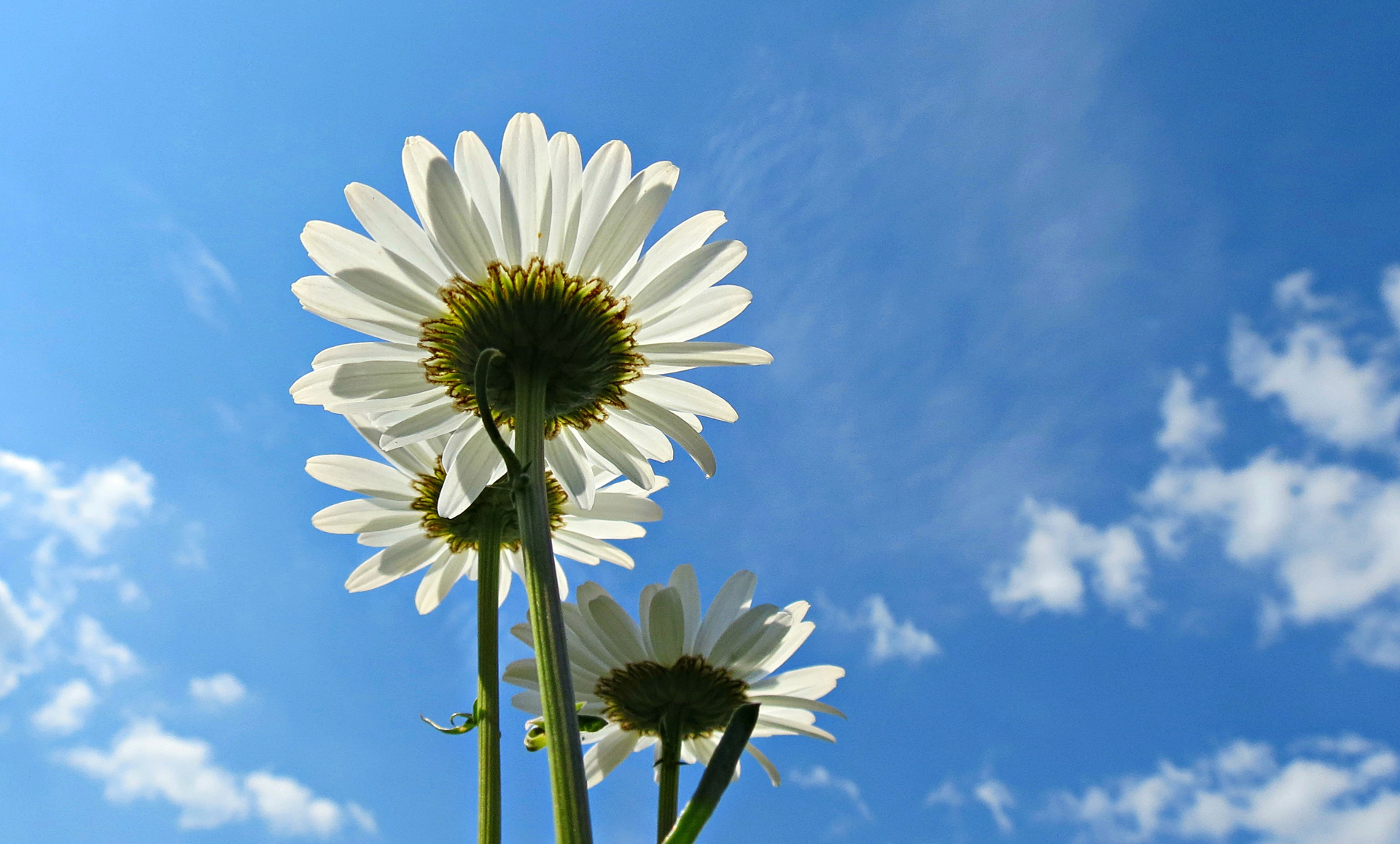 blue sky of white oxeye disy flower desktop background pictures