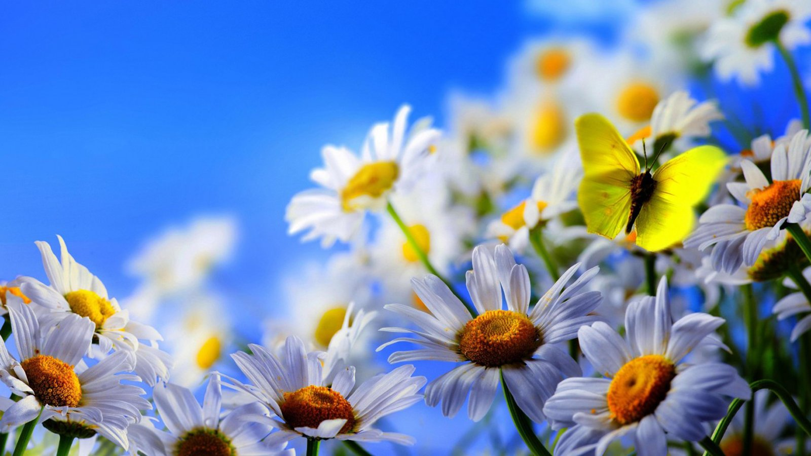 Bunch Of White Daisies Flower Garden Mobile Background Images