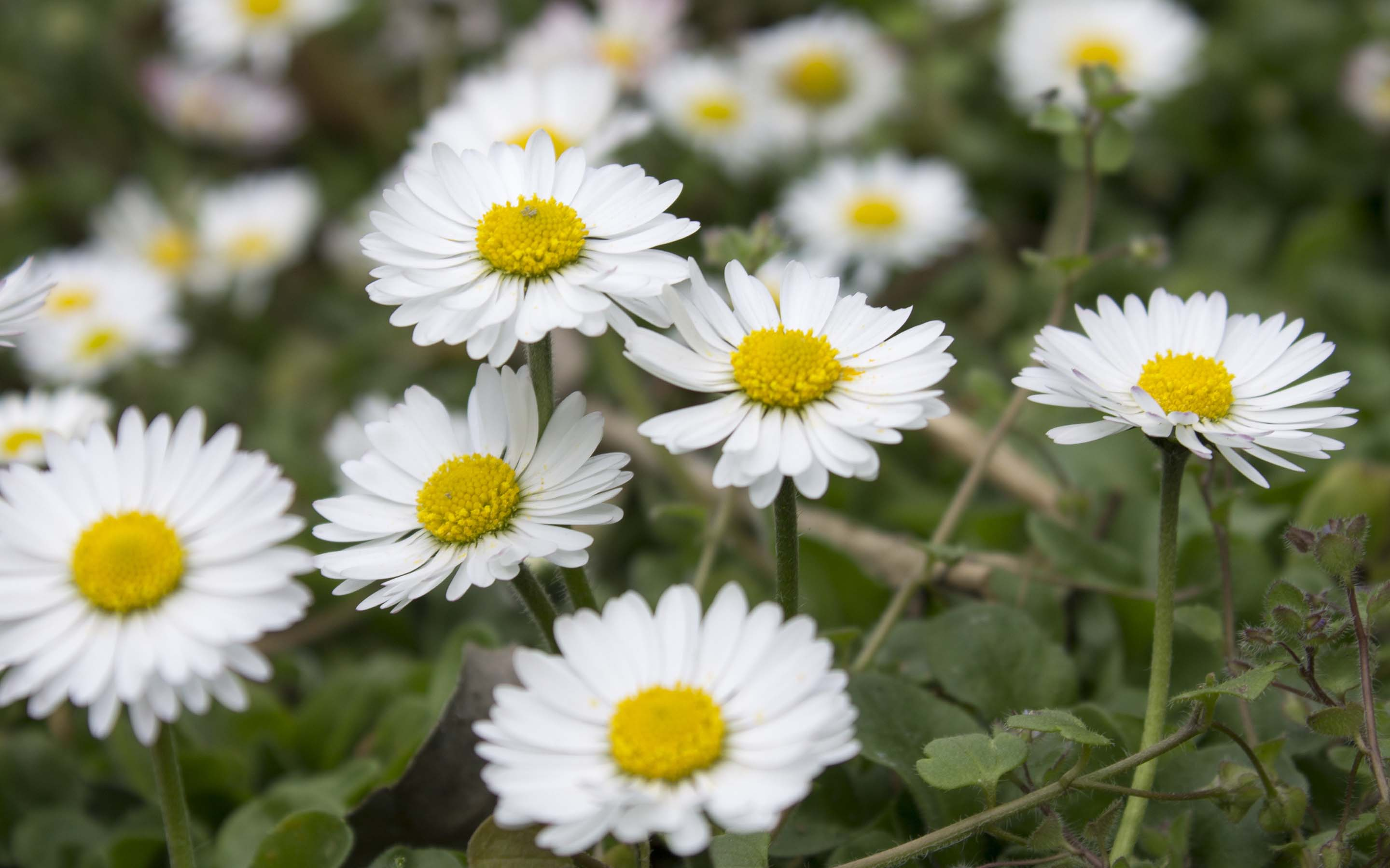 daisies love hd desktop free download picture