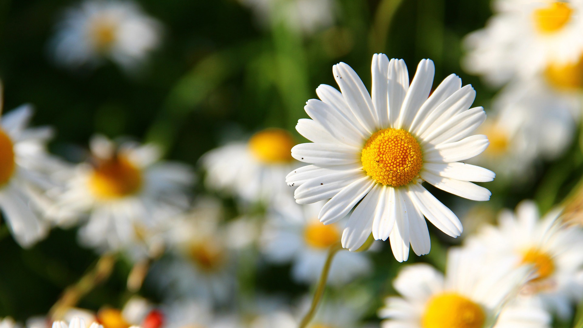 daisy flower hd desktop backround image download