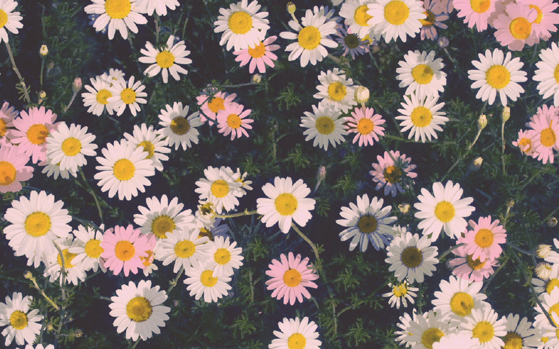 Daisy Hd Images Download With Amazing Background Images Download