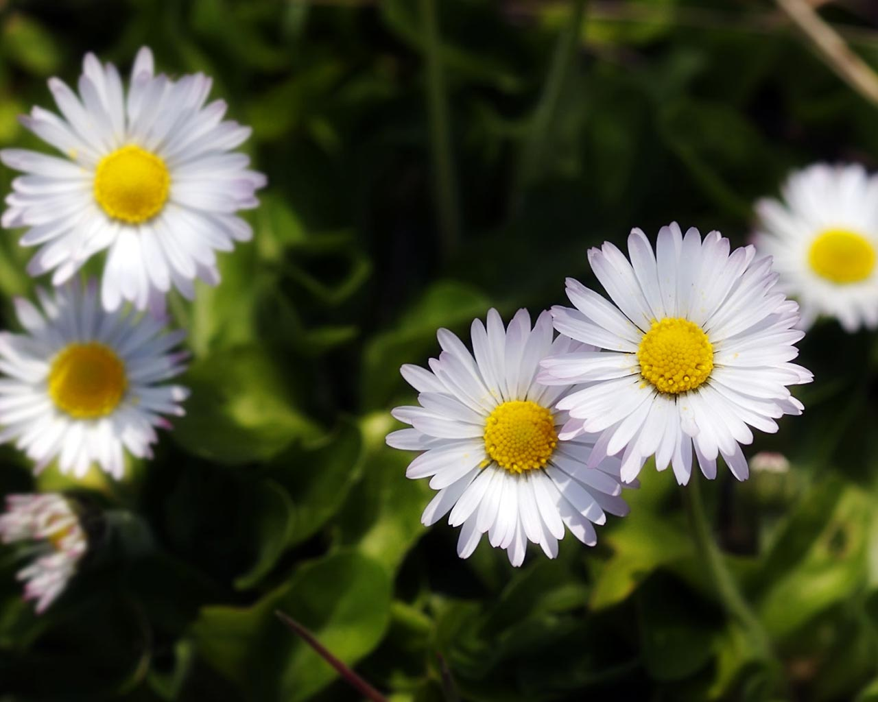 daisy meadow background highresoution white rose photos