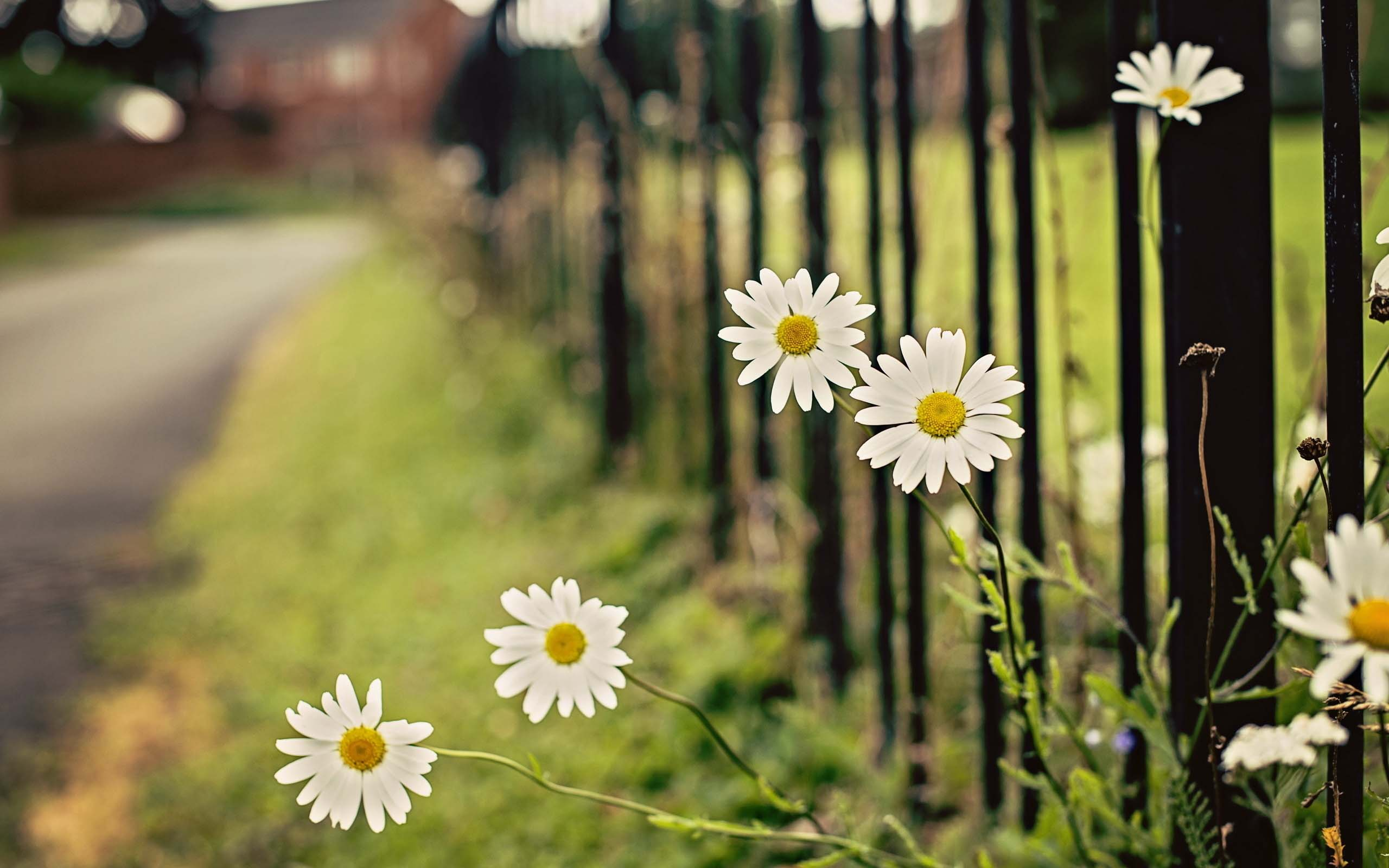 daisy next to the fence wide road side views images download