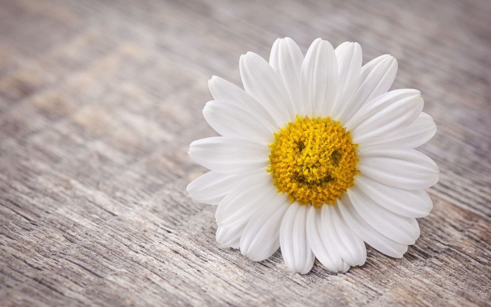 amazing smiley daisy flower hd pictures download