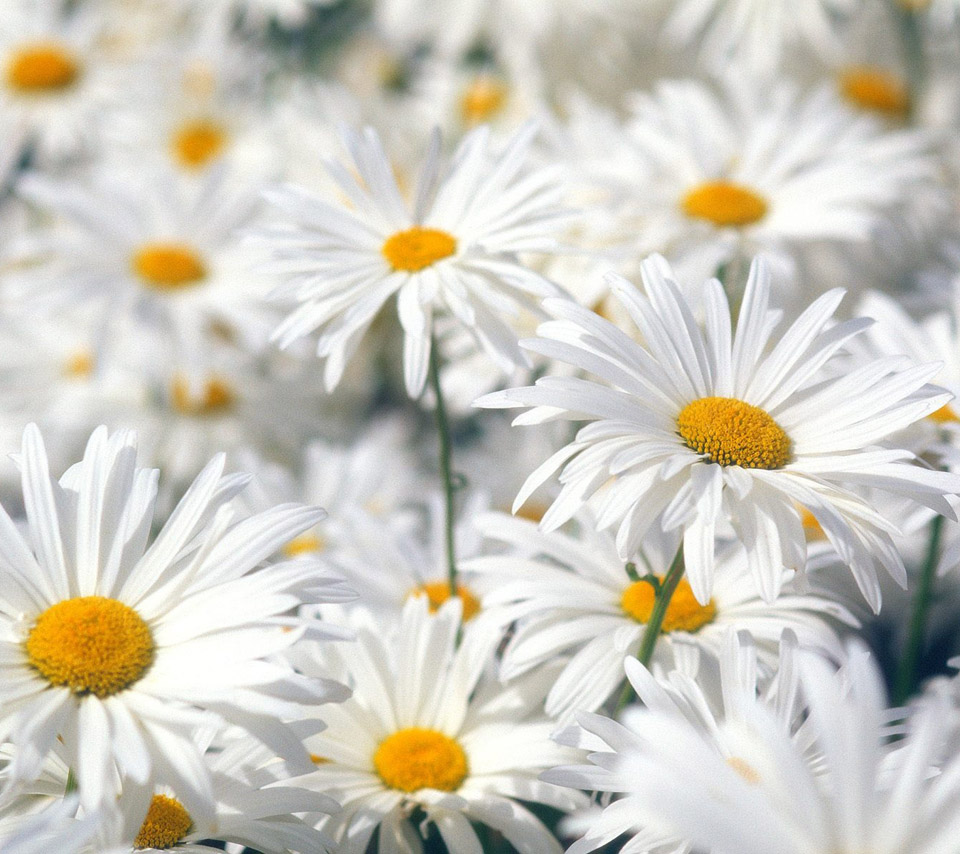 bunch of beautiful daisies flower wallpaper free download