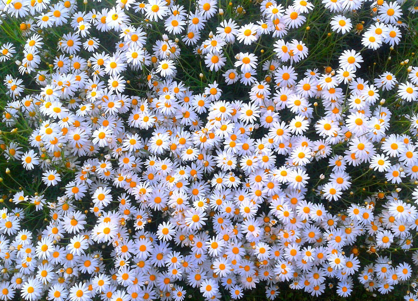 crysanthemum japonese daisy bunch flower images free