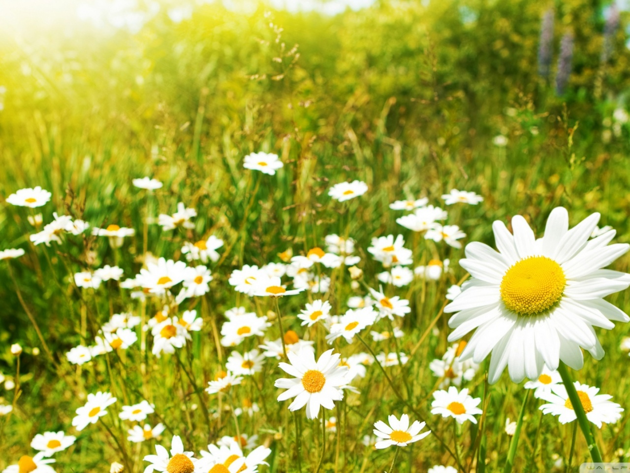 daisy summer flower hd pics download