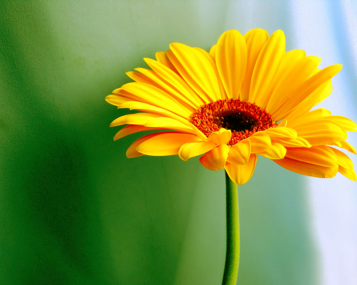 Desktop Yellow Daisy Eye Coverable Pics Download
