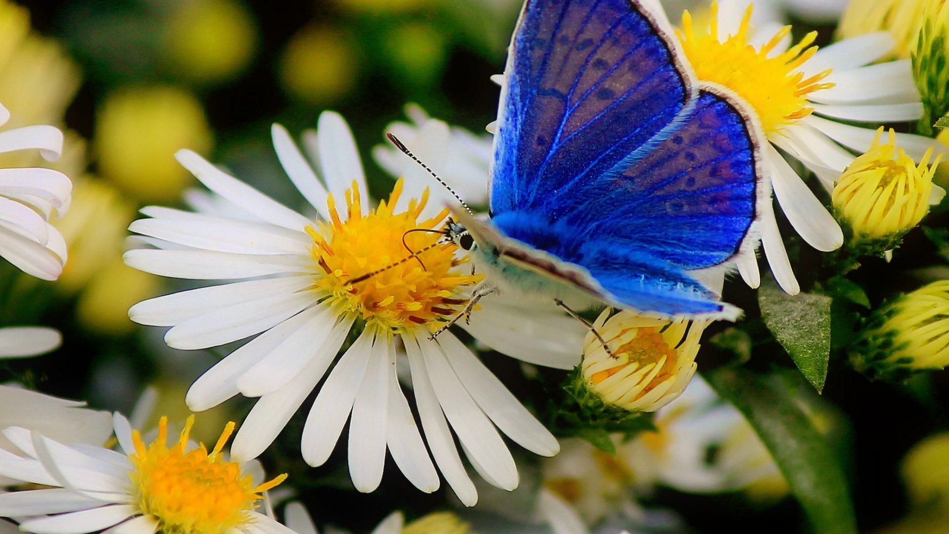 flowers daisies nature butterfly pretty beautiful beauty lovely harmony flower pic