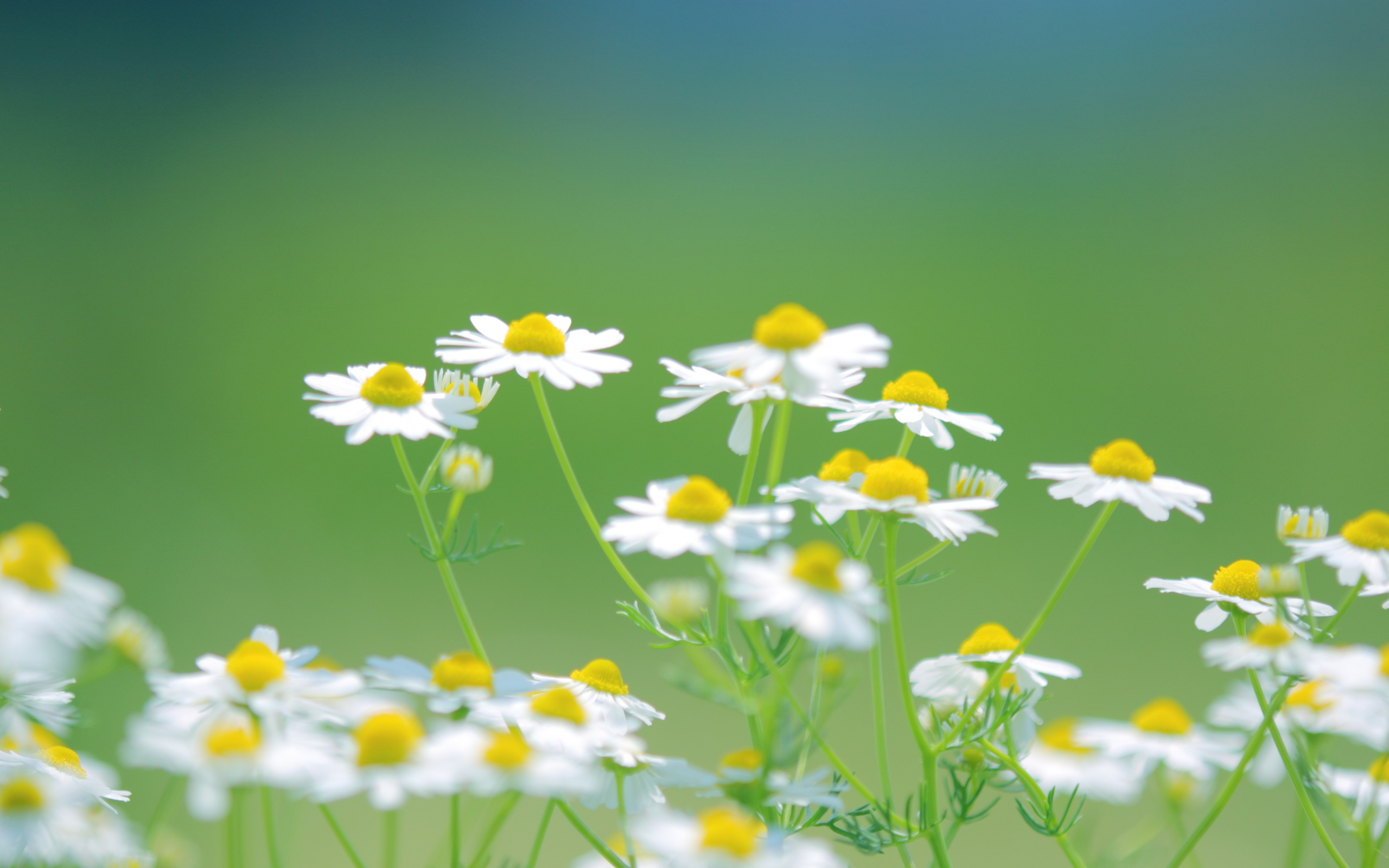 Free Summer Daisies Flower Images Free
