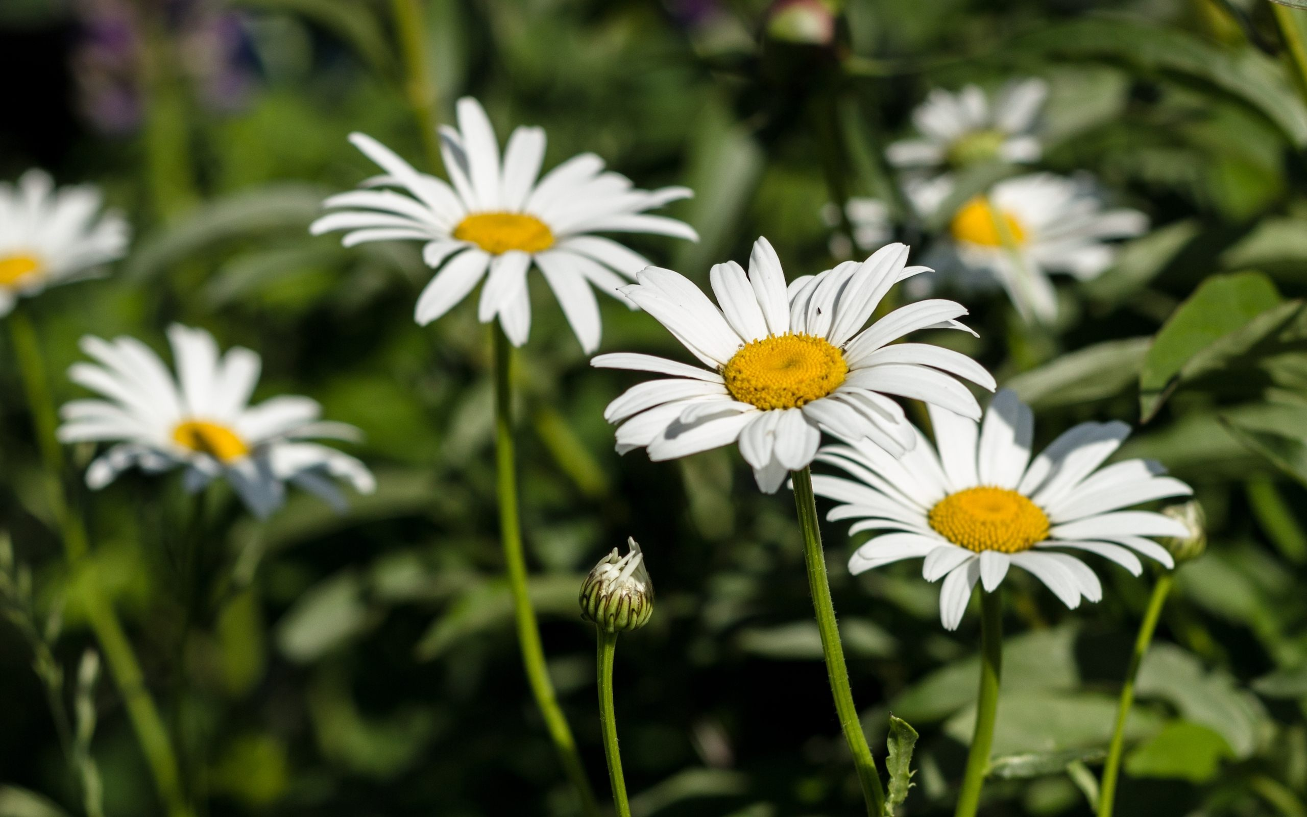 Group of white daisy flower download images download izmirmasajfo