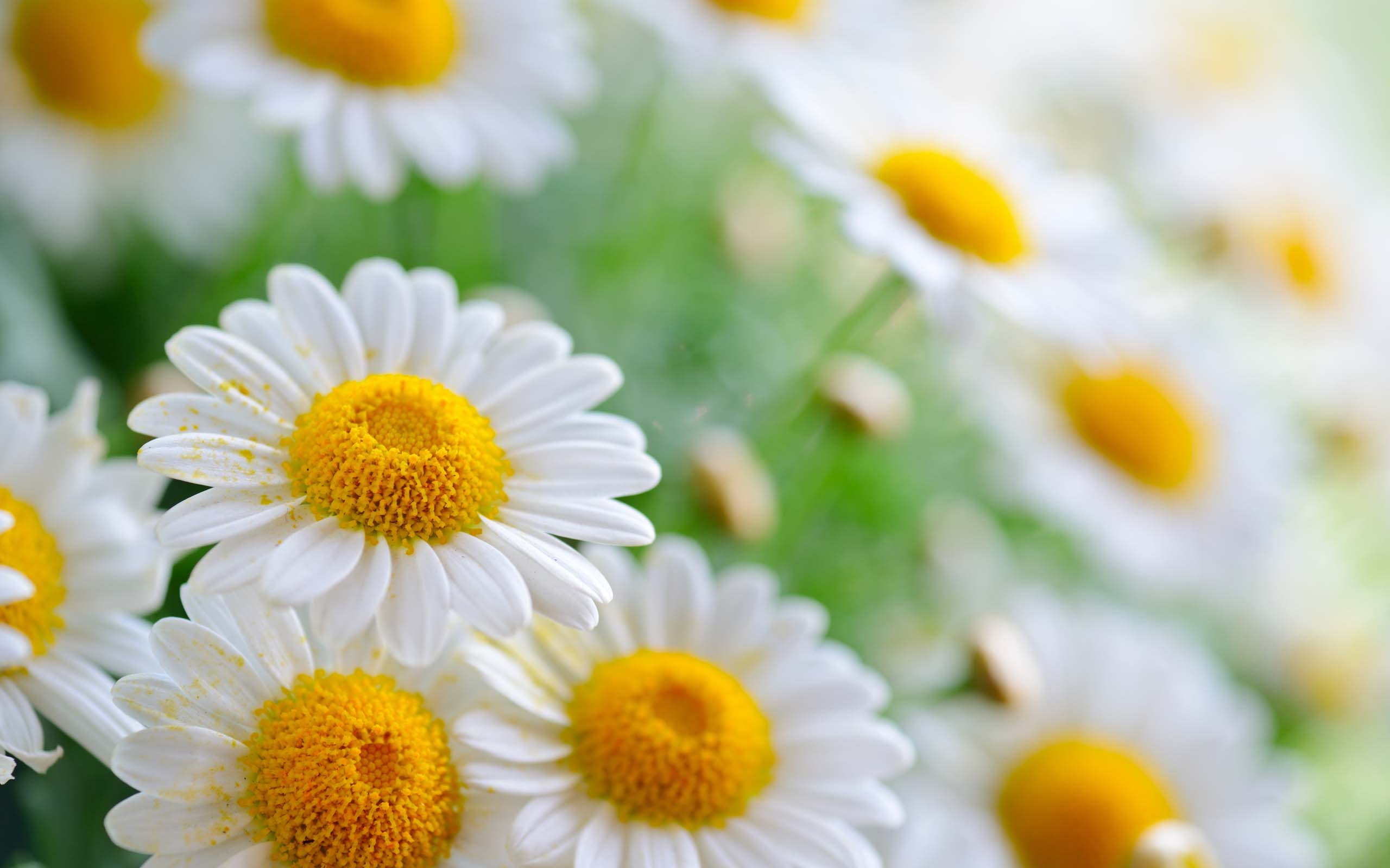 Group Pics Of Daisy Flowers Pics Download