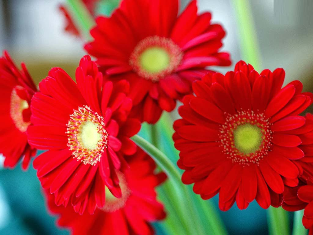 love of red daisy flower image free