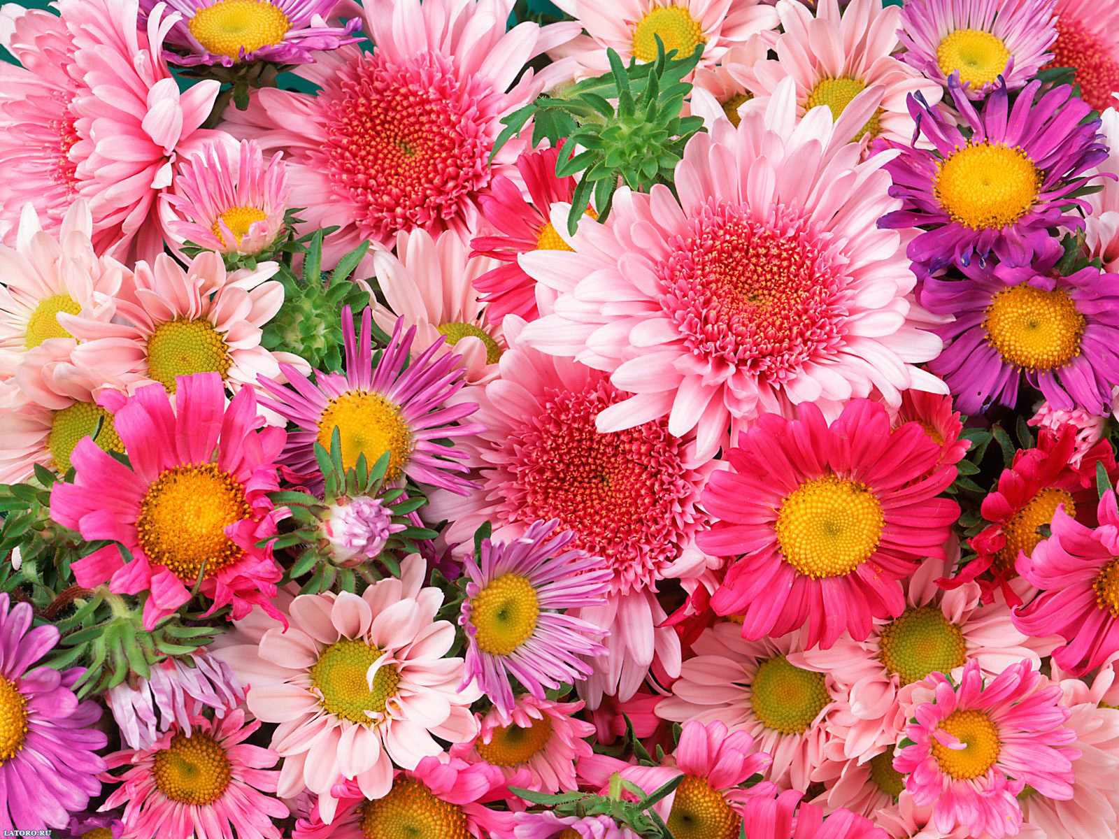 Mixed Daisies Flower Of Passion Mix Image Free Download