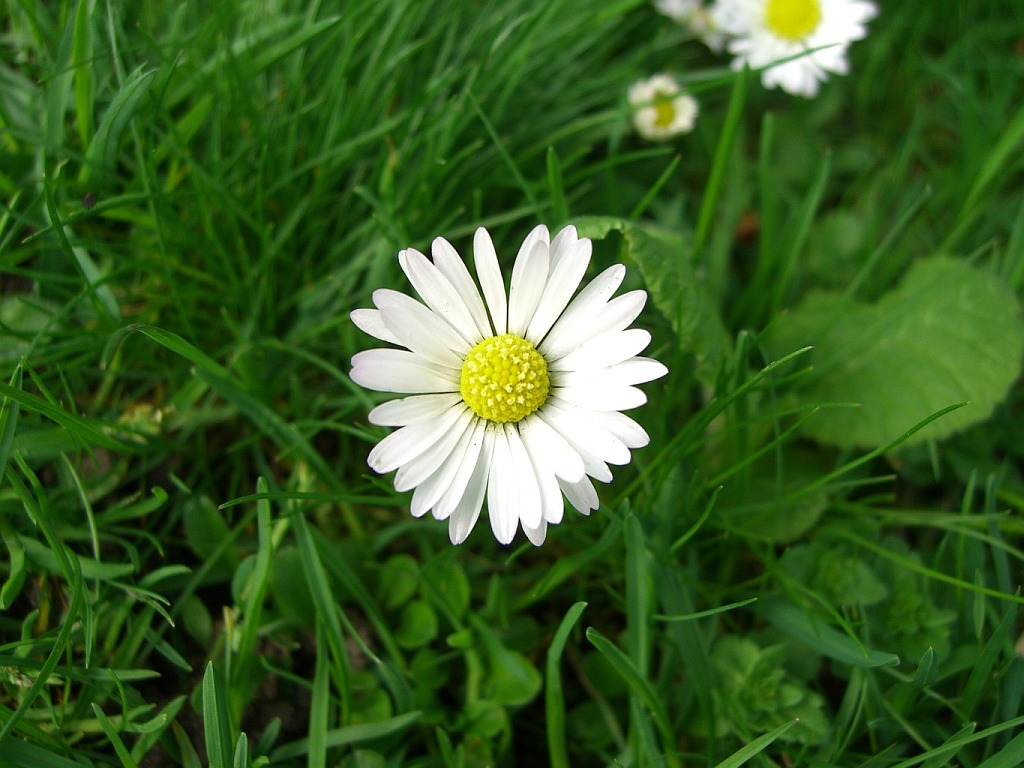 morning blooming daisy daisy images free download