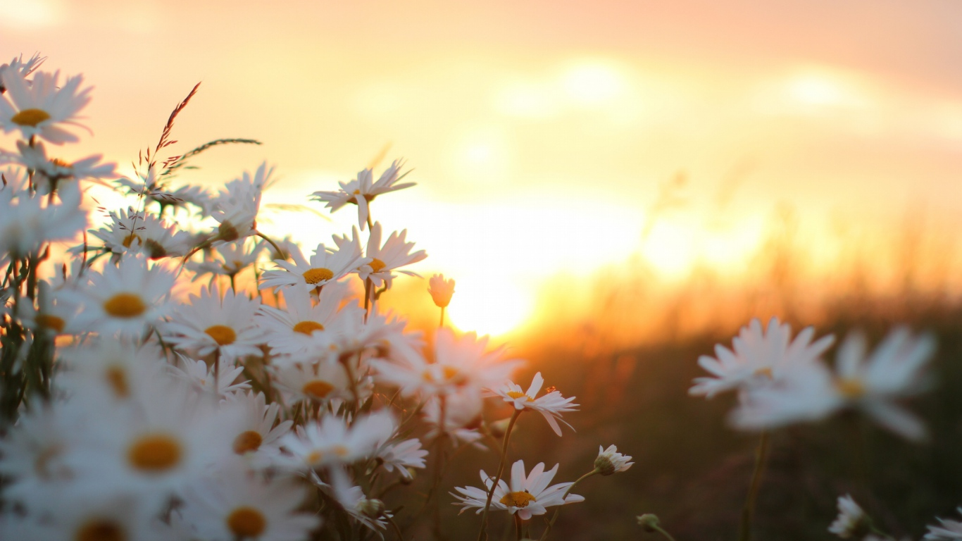 nice morning daisy flowers hd images