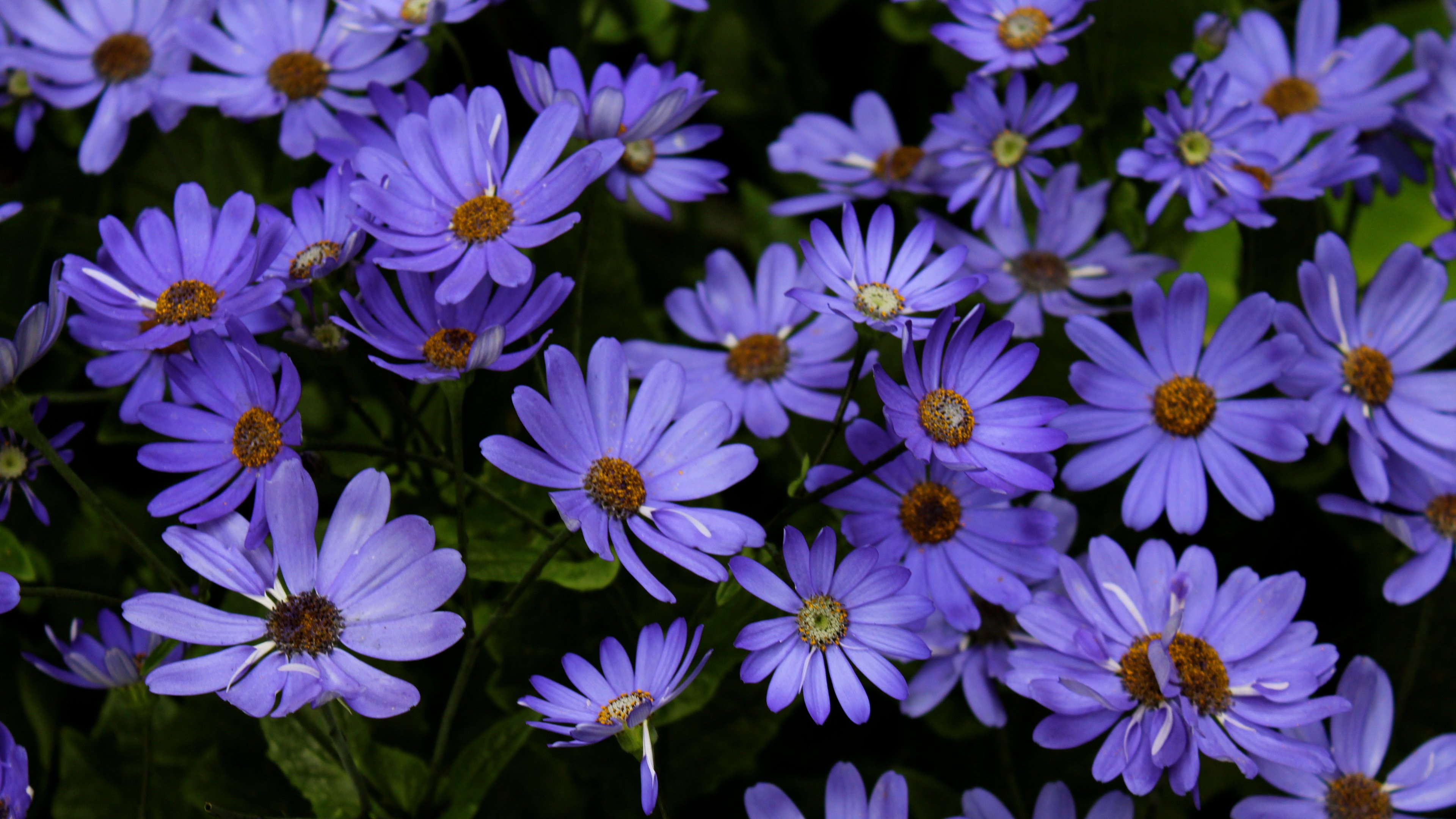 Night Blue Daisies Widescreen Desktop Pictures Free Download