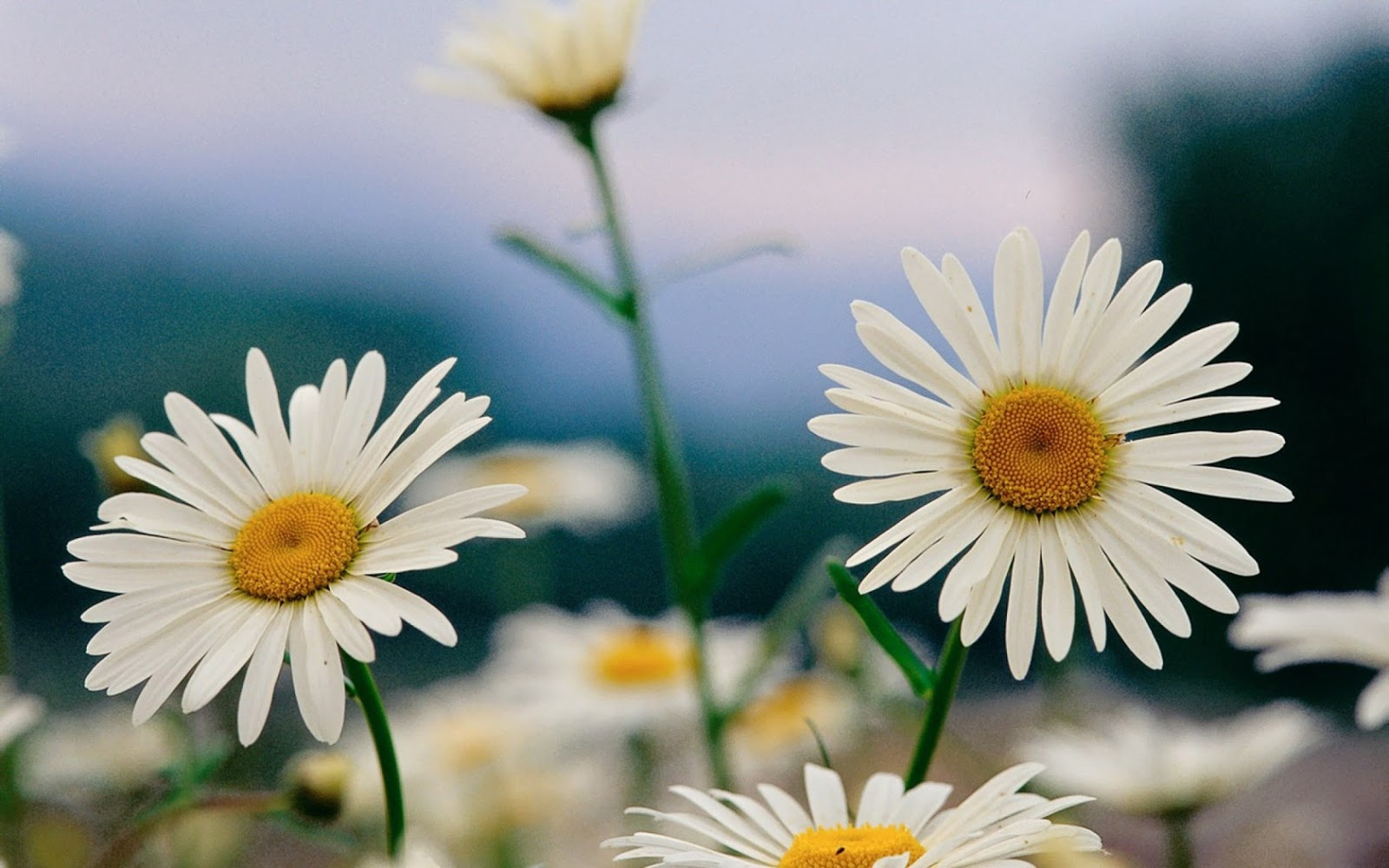 Ox Eye Daisy High Resoution Beautiful Hd Pictures