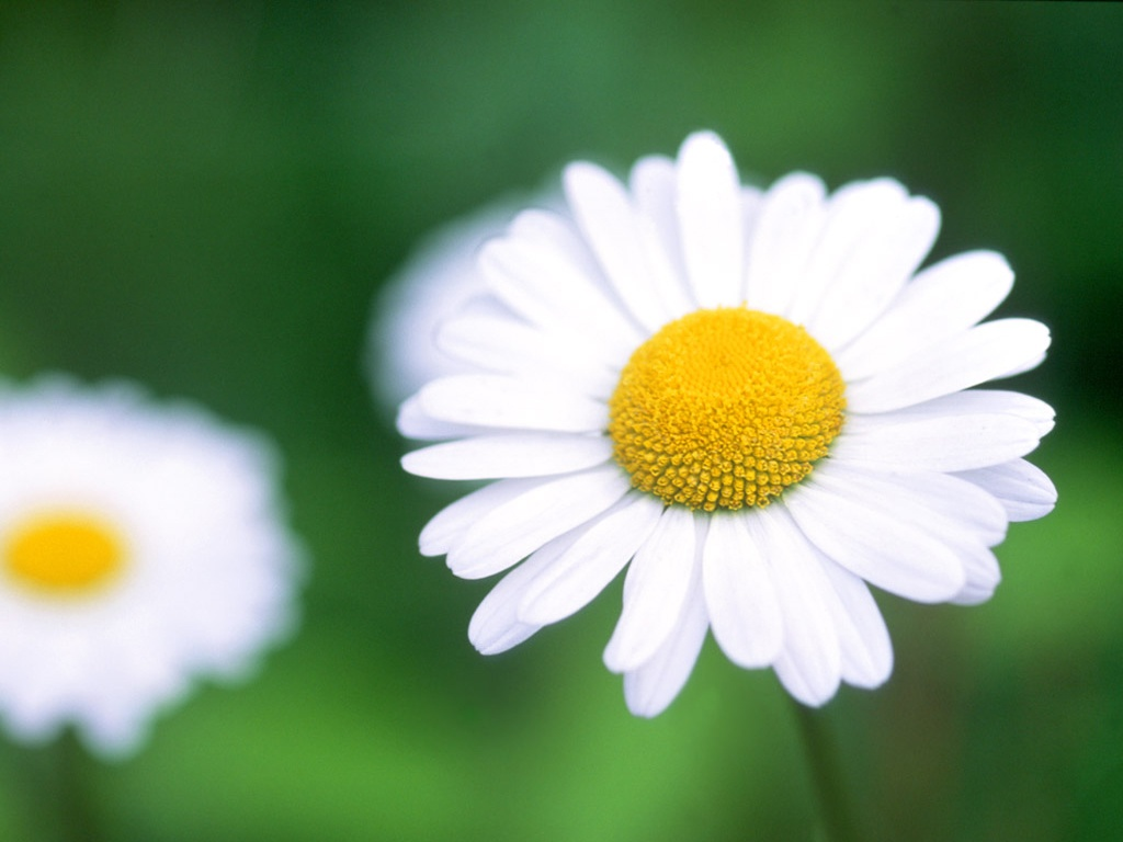 painted daisy flower desktop wildscreen pics free