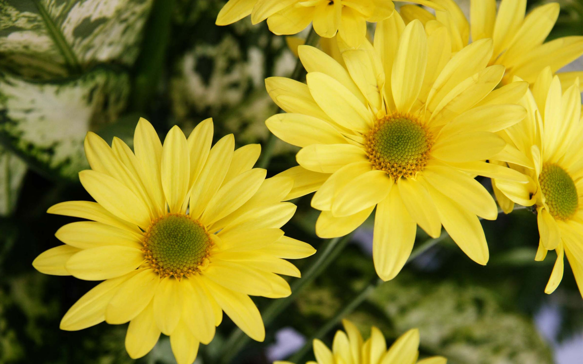 royal yellow color daisy flowers hd pics