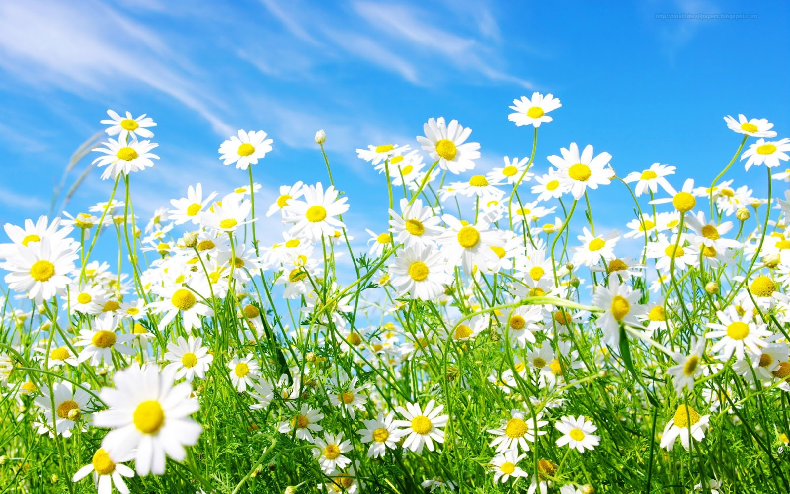 White Daisy Up On Blue Sky Highdefinintion Desktop Wallpapers Hd