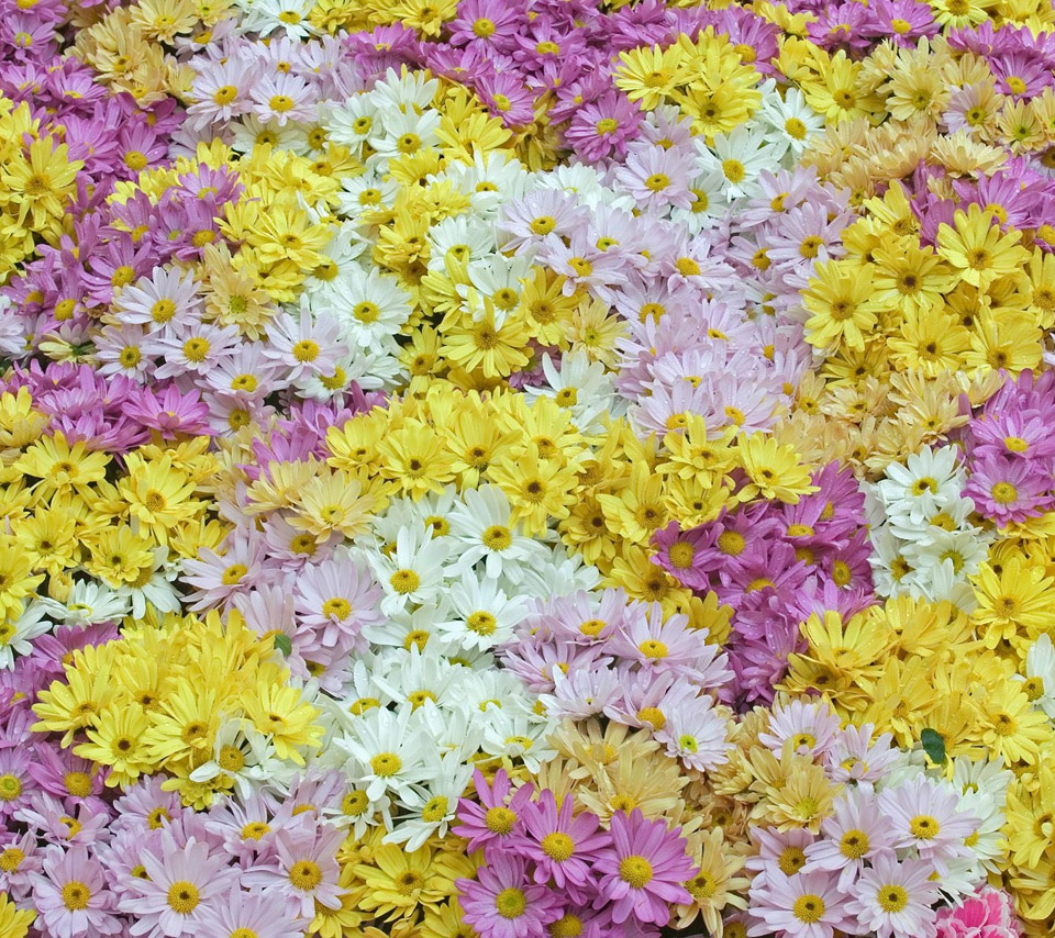 mixed color of daisy flowers desktop wallpapers photos