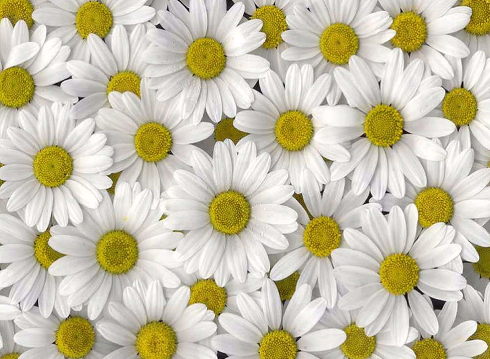 Bellis Perennis Common Daisy Amazing Flower Free Download