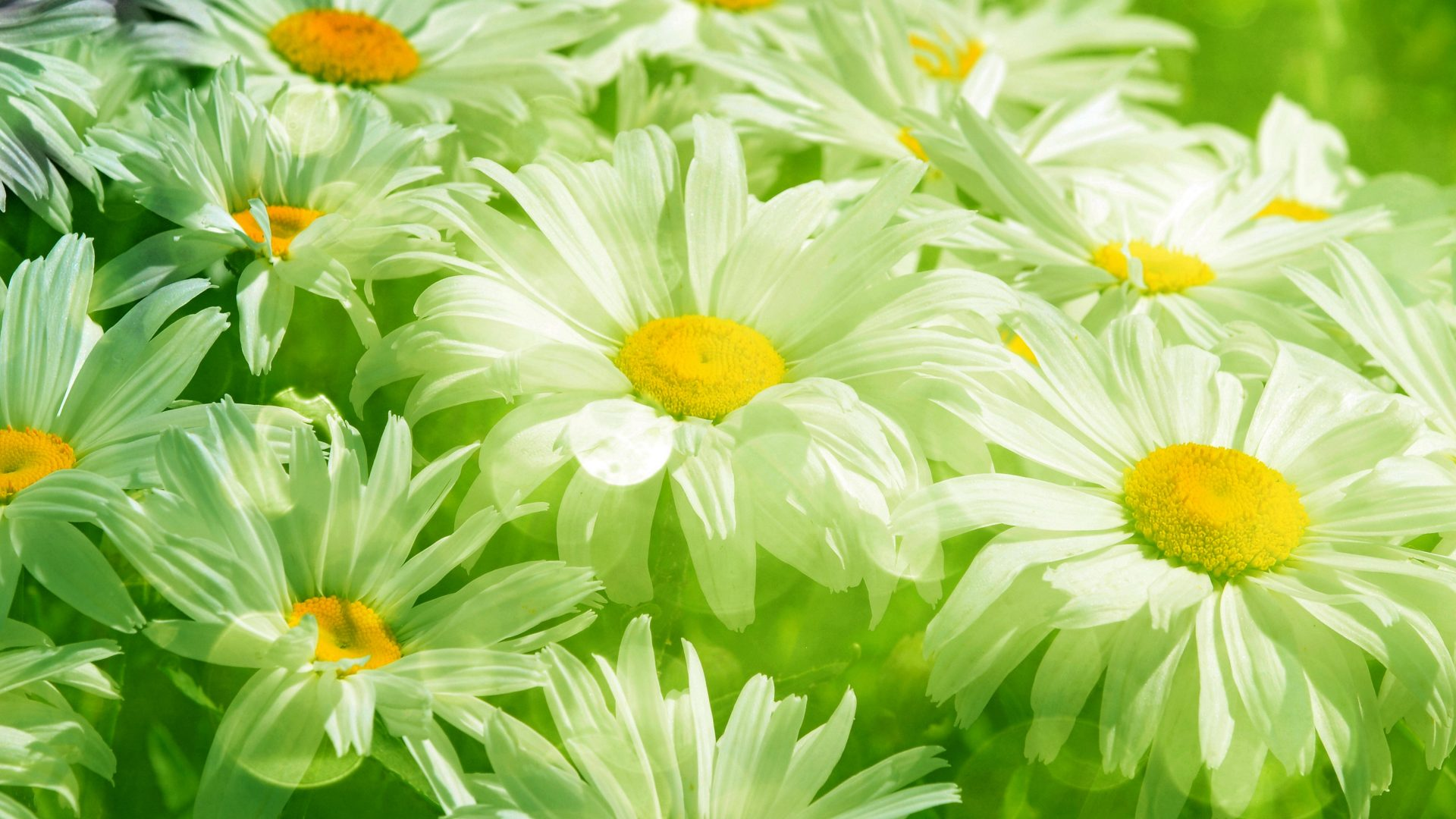 flowers daisies daisy nature flower soft abstract wallpaper