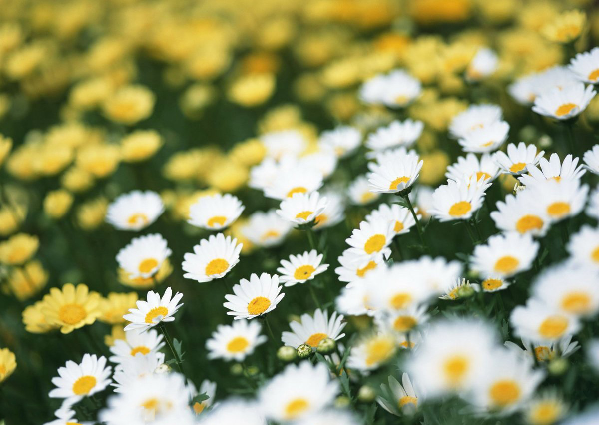 perimum daisies desktop hd images free download