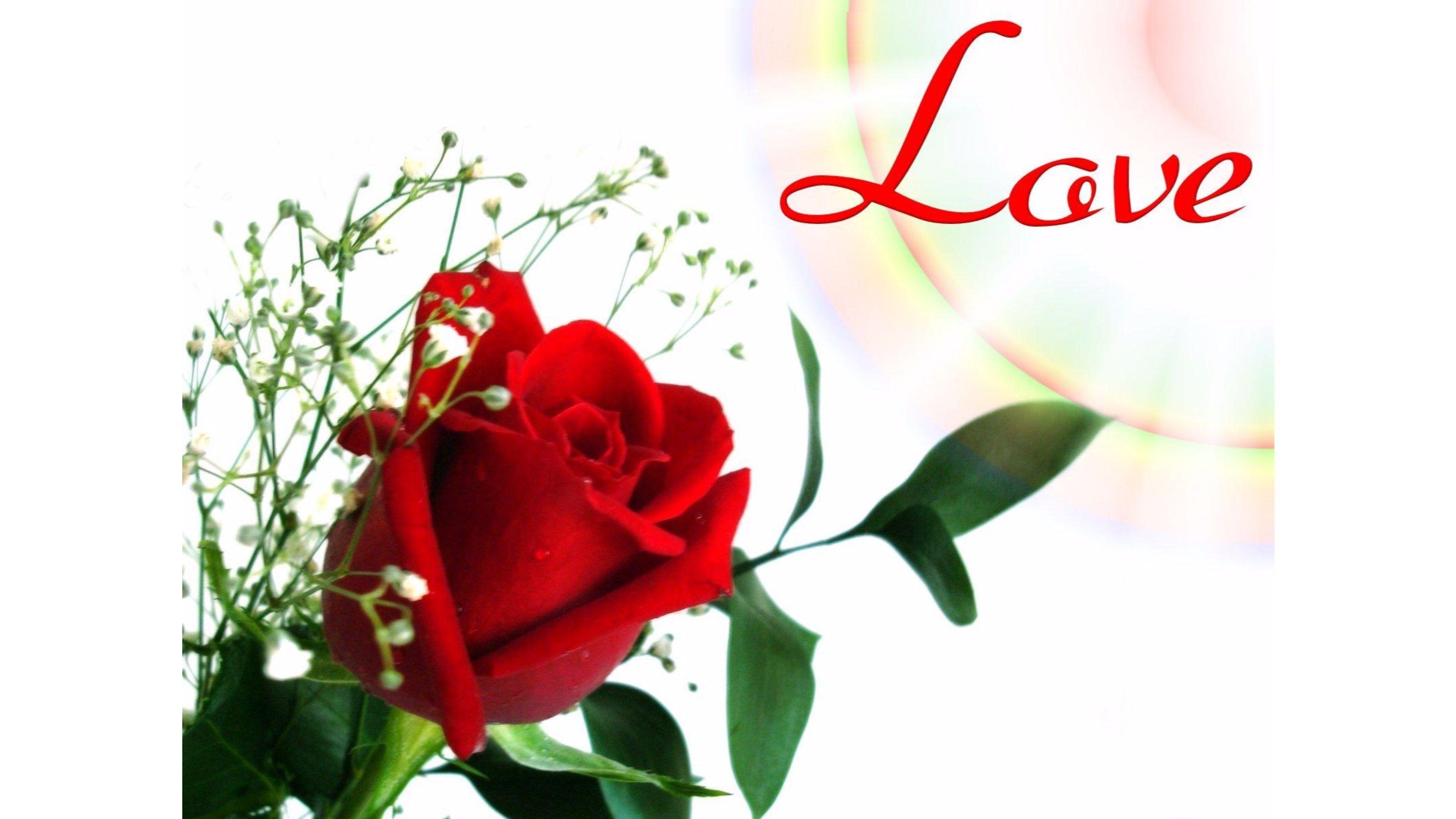 Single Rose Wallpapers Free Hd Pics Download