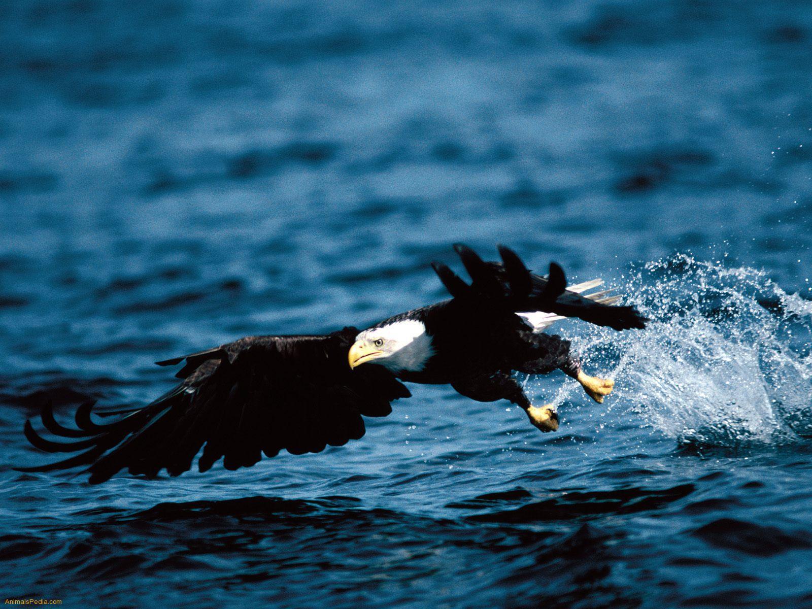 Desktop Images For Eagles Download