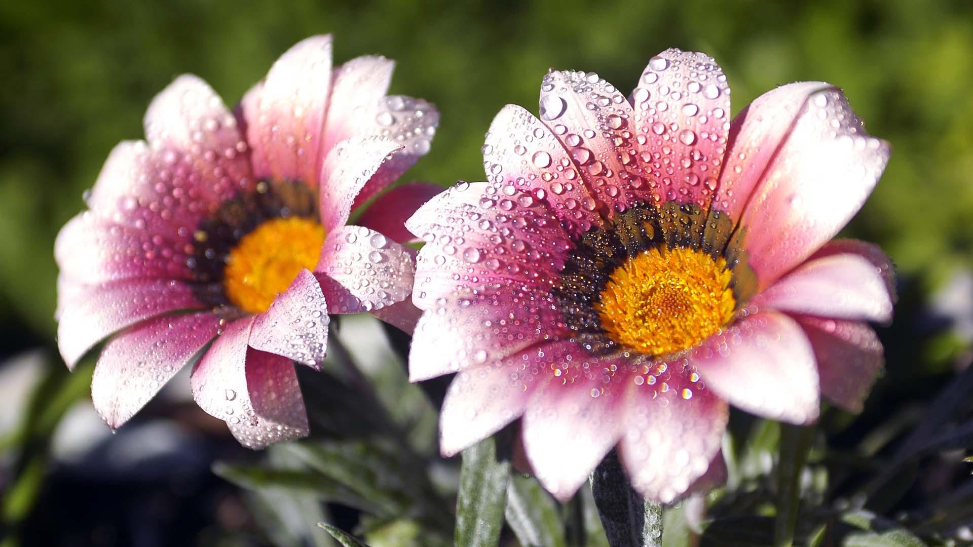 african daisy flowers wallpaper desktop image free download