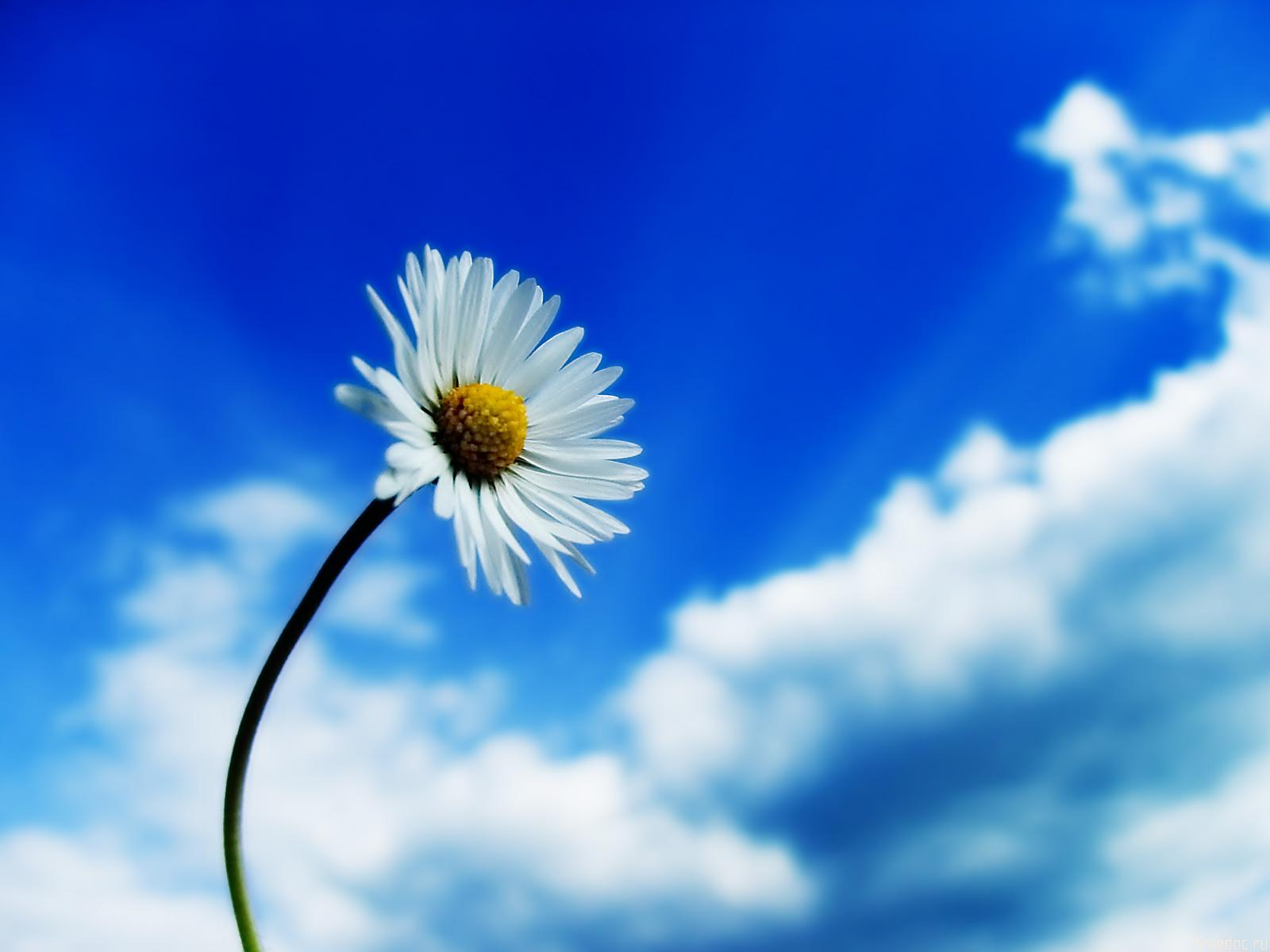 beautiful sky single white daisy flower normal cool wallpaper photos