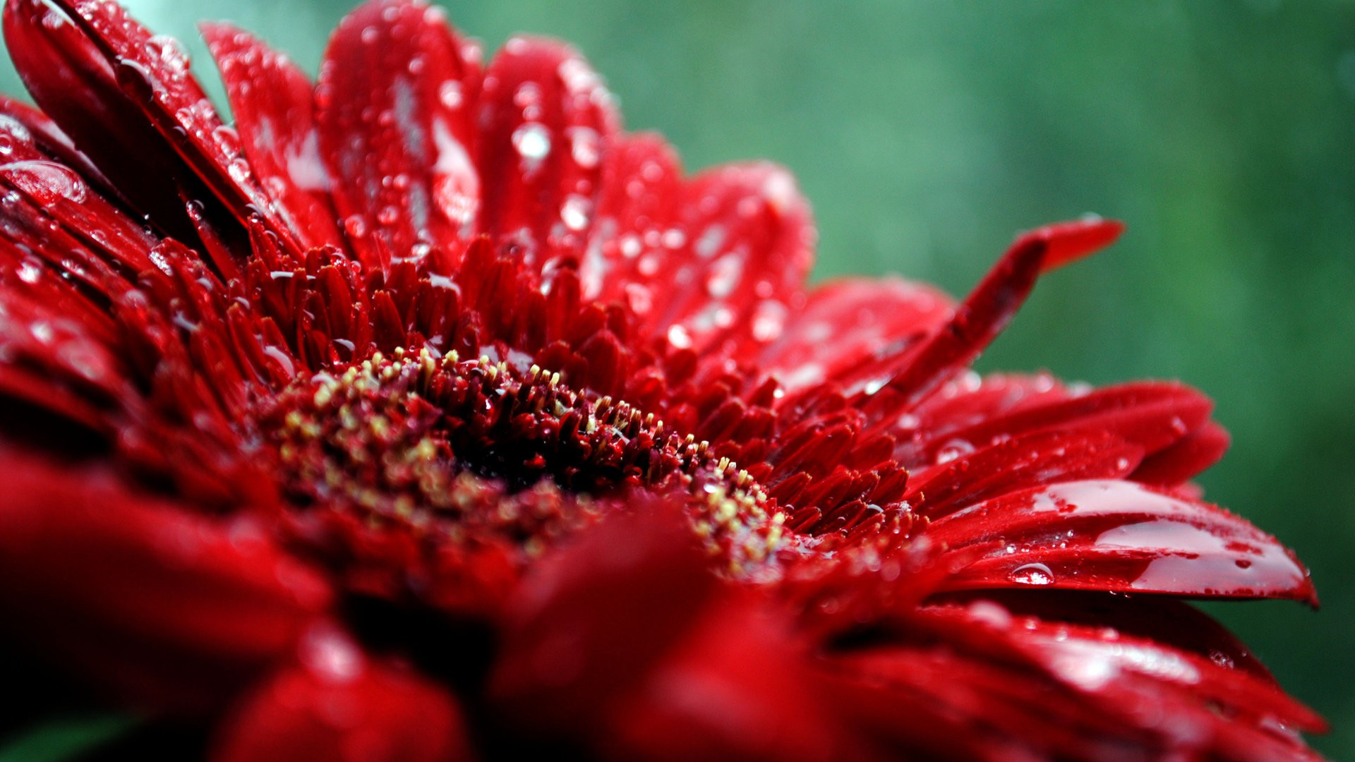Chrysantemum Red Flowers Hd Wallpapers